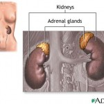 adrenal-gland-location